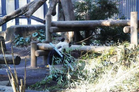 Панда в зоопарке UENO
