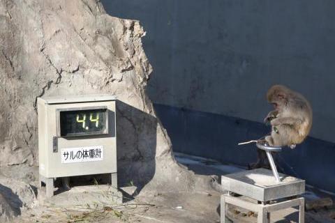 Вес обезъяны 4.4 кг, UENO zoo
